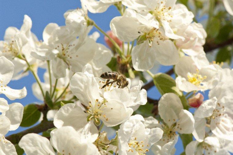 abeille-sur-pommier-fleur